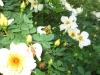Rosenfest_2010_12